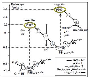 إن طرح O2 طيلة مدة الإضاءة مرتبط بتوفر مادة مستقبلة للالكترونات والتي هي ، في هذه التجربة، ايونات الحديد أما في الحالة الطبيعية فإن الخلية تتوفر على عناصر متقبلة للالكترونات والتي هي جزيئات NADP (NICOTINAMIDE ADENINE DIPHOSPHATE) والموجودة داخل الستروما. تتميز هذه الجزيئة بقدرتها الاختزالية (استقبال الالكترونات) الكبيرة حسب التفاعل التالي:  NADP+ + 2H+ + 2e- ---------> NADPH,H+  خلاصة: تفاعل طرح الأوكسجين، إذن، هو تفاعل أكسدة للماء حيث تفقد جزيئة الماء الالكترونات الي يتم استقبالها من طرف جزيئات NADP التي تعتبر بالتالي جزيئات مختزلة، عند استقبال NADP للالكترونات الواردة من التحليل الضوئي لجزيئة الماء تبدأ سلسلة من الانتقالات للالكترون في اتجاه المتقبل النهائي.